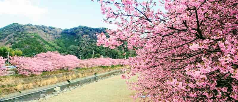 静岡デートドライブツーリングでみられる河津桜満開